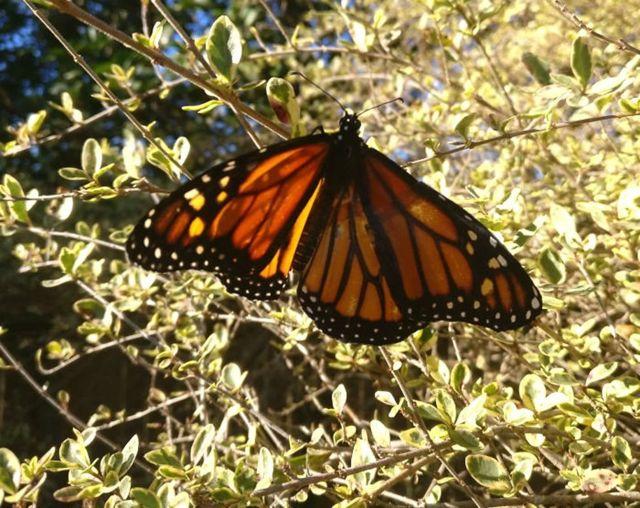 Метелик з підклеєним крилом сидить на кущі