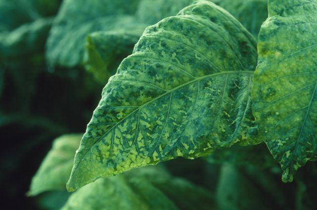 Una planta afectada por el virus del mosaico del tabaco