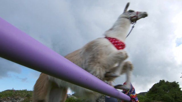 Caspa the llama jumping over hurdles