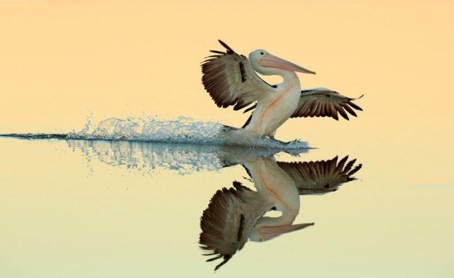 طائر البجع الأسترالي