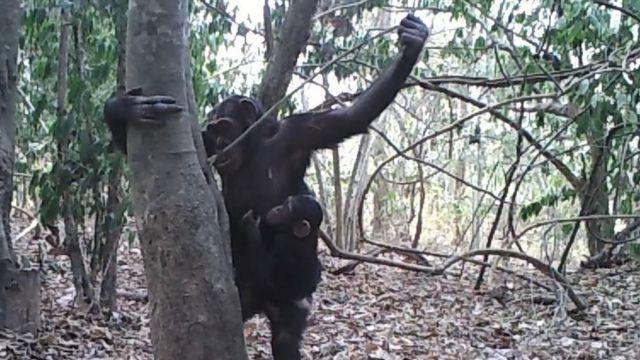 Juan Lapuente/Comoé Chimpanzee Conservation Project