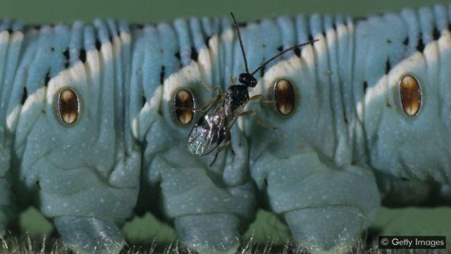 bbc paraziták féregcsomó a testben