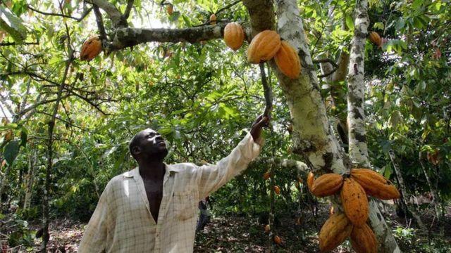 El propietario de una plantación en Costa de Marfil revisa las mazorcas de uno de sus árboles de cacao.