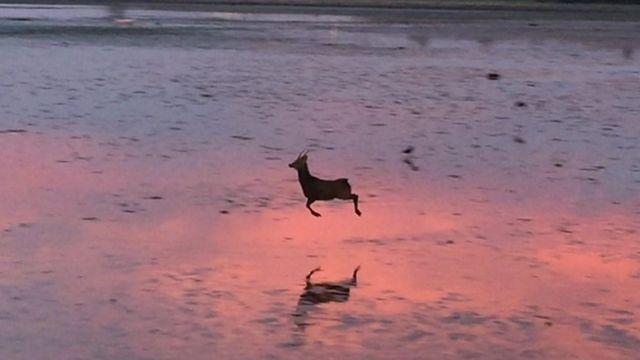 A deer on Poole Harbour