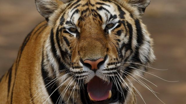 Qatar commuters startled as escaped tiger appears on Doha motorway
