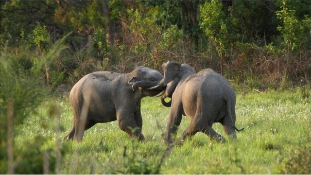 Musth is a unique state to elephants, in which young males, usually in their 20s, are flooded with reproductive hormones