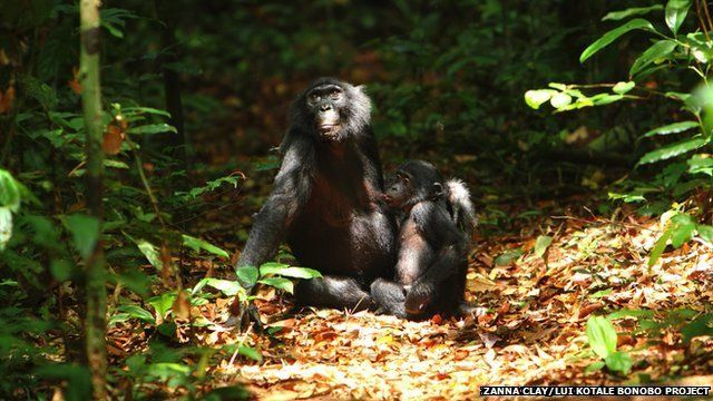 adult bonobo with an infant in the forest
