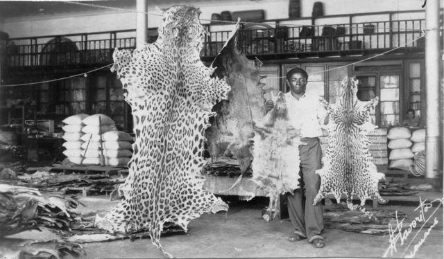 Comércio de peles de animais silvestres reduziu populações de várias espécies na Amazônia