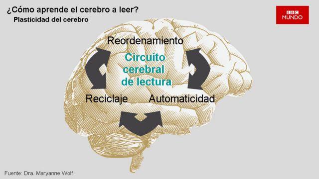 Dibujo representativo del circuito de lectura del cerebro.