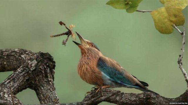 इंडियन रोलर पक्षी