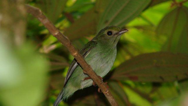 Fêmea de um tangará, de cor verde