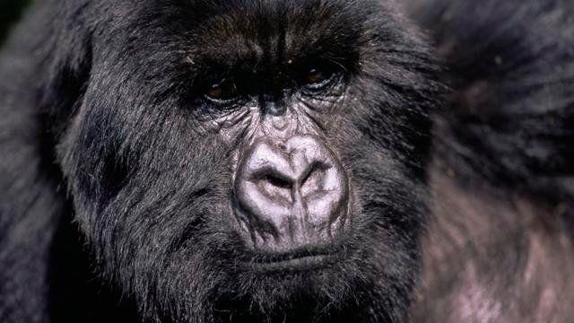 Le gorille de l'Est, le plus grand primate de la planète.