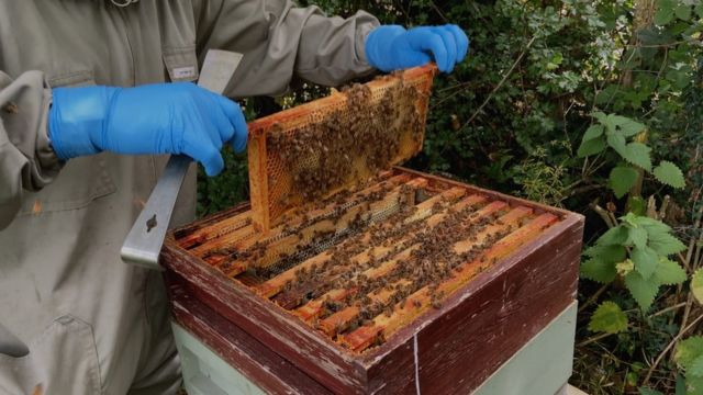 Honeycombs being lifted out of a beehive