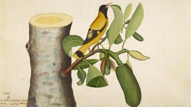 કાળા મસ્તકવાળા ઓરિઓલ પક્ષીનું ચિત્ર, ઝૈનુદ્દિન