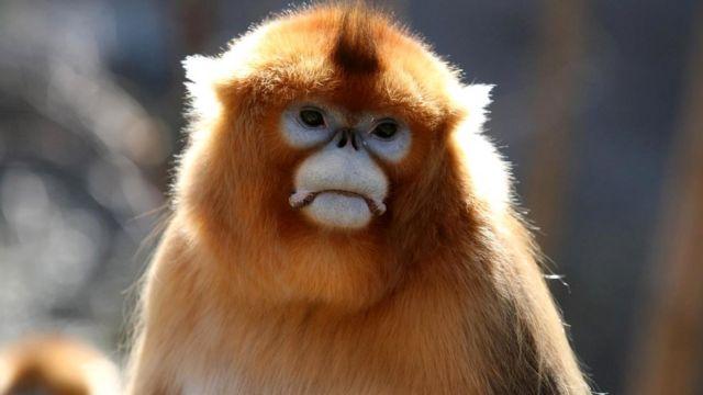 Известно, что обезьяны оплакивают своих погибших сородичей