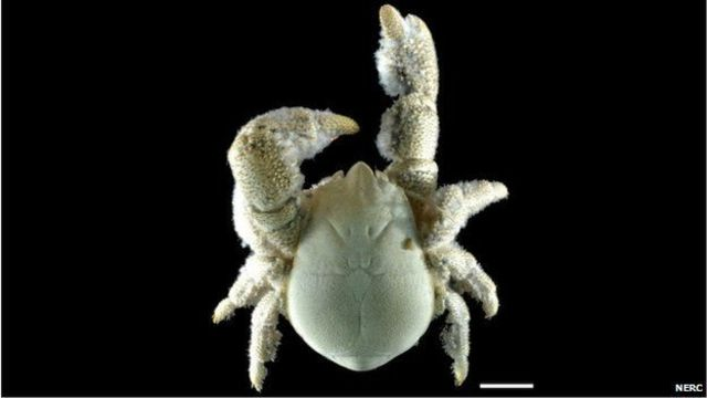 """Parte dorsal del cangrejo apodado """"El Hoff"""""""