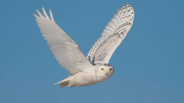 Snowy owl (c) Tom Johnson, Macaulay Library at Cornell Lab of Ornithology