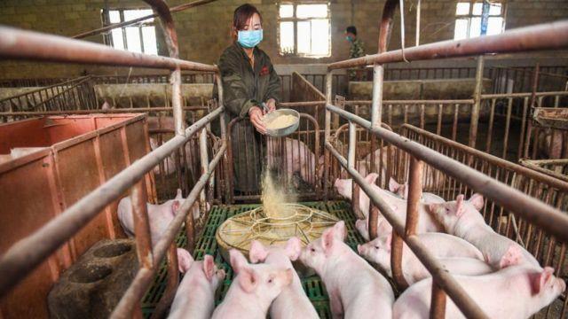 مزرعة خنازير في الصين