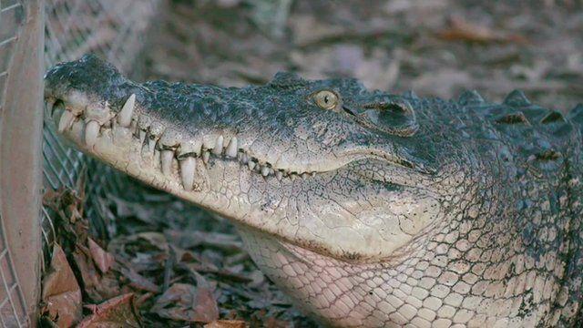 Crocodile in East Timor