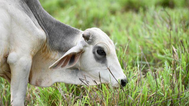 Vaca pastando