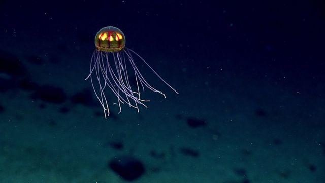 Espécime rara de água-viva têm tentáculos longos e curtos
