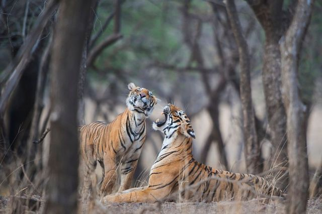 A sub-adult tiger cub gets an earful from his mother T-19, alias 'Krishna', in the Ranthambore National Park on June 03, 2015 in Sawai Madhopur, India.