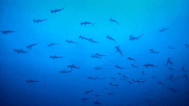 Tubarões-martelo nos arredores da Ilha de Malpelo