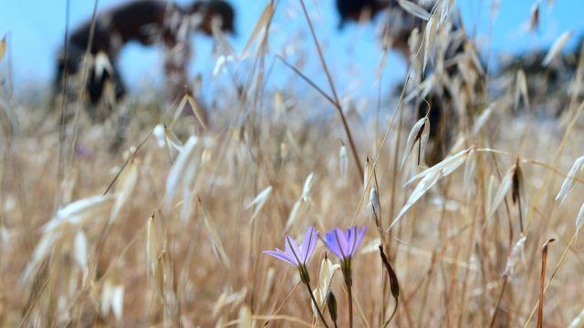 گیاه در معرض انقراض بورودیا