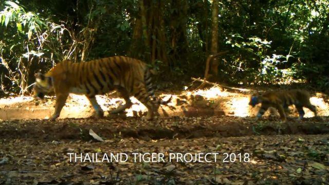 ภาพแม่เสือโคร่ง และลูกเสือ 2 ตัว ที่กล้องดักเสือของสำนักอนุรักษ์สัตว์ป่าถ่ายไว้ได้ และเผยแพร่ทางสังคมออนไลน์