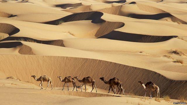 Chameaux sur dunes de sable