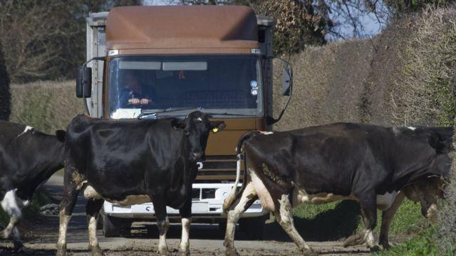Vacas y un camión de fondo.