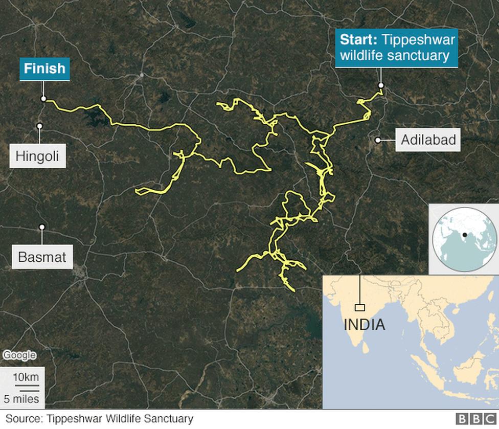 बाघ की यात्रा को दिखलाता नक्शा
