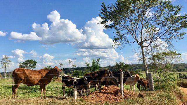 Vacas en la selva amazónica.