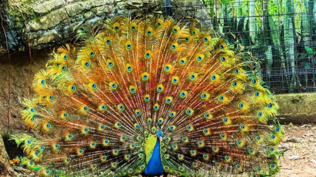 Pavo real con el plumage desplegado