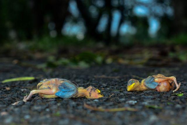 Погибшие в циклоне птинцы филиппинского ткача.