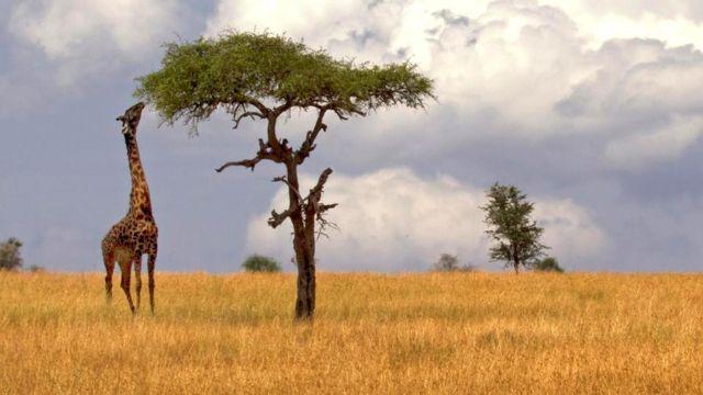 Жирафы могут доставать до верхушек очень высоких деревьев