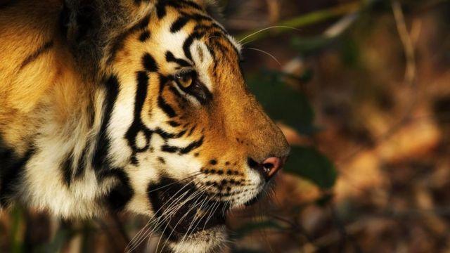Бенгальские тигры - под угрозой вымирания