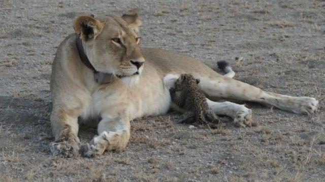 صغير الفهد يرضع من ثدي لبؤة في محمية نغورونغورو