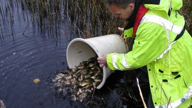Record year for fish releases in England's rivers
