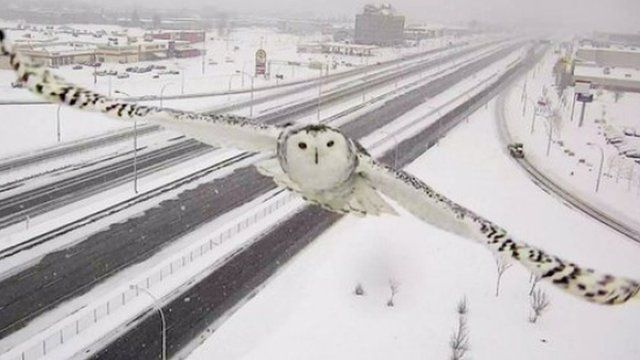 A snowy owl in flight