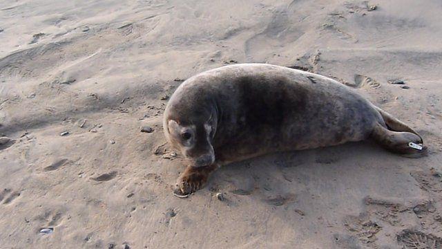 Orca the grey seal