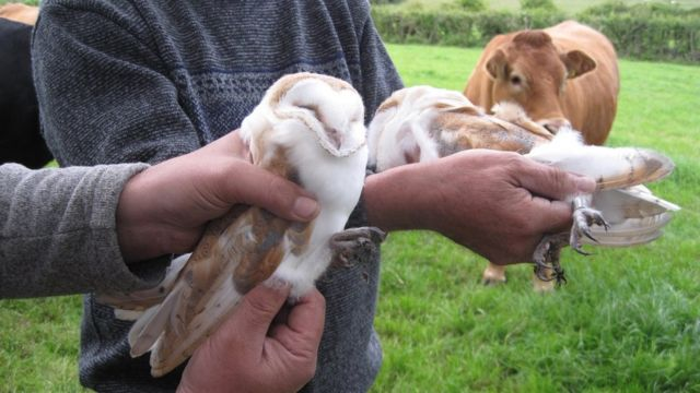 Barn owls: Chicks hatch in man-made nesting box for first time in NI
