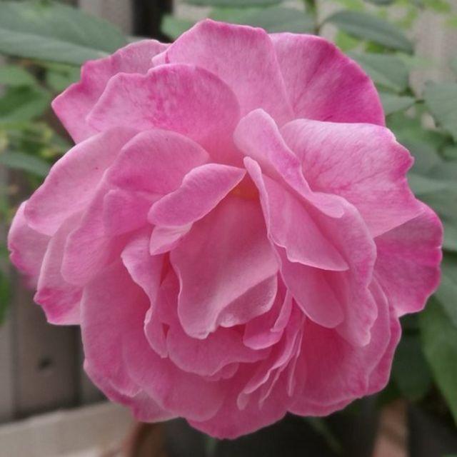 Chinese rose, Rosa chinensis