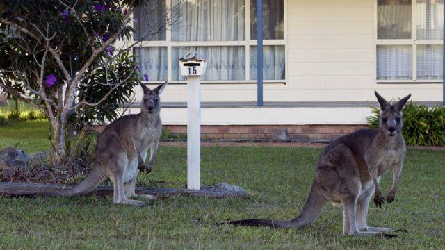 两只袋鼠在一间民居门前