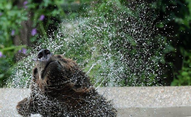 Seekor beruang muda bermain air di kebun binatang Bioparco di Roma.