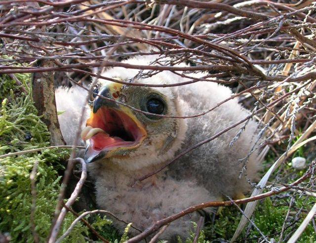 Bowland hen harrier chicks give 'hope for future'