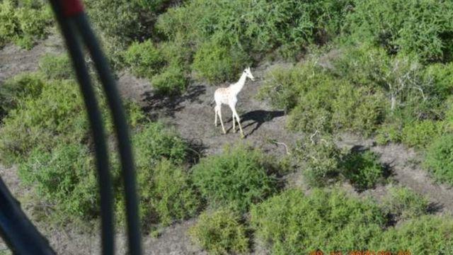 Última girafa branca do mundo