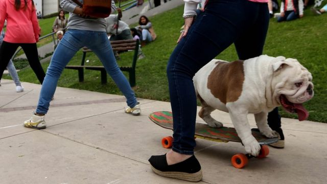 "Otto the bulldog setting the Guinness World Record for skateboarding through the ""longest human tunnel"" in Lima, Peru"