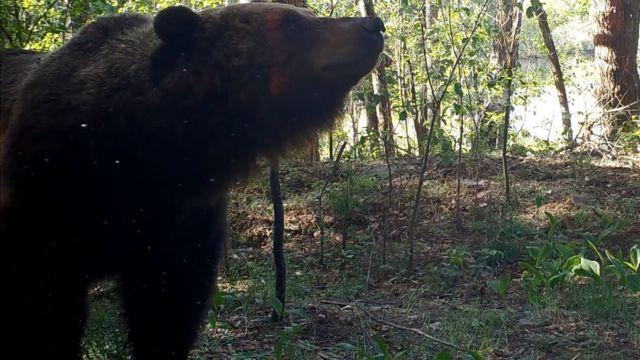 Медведь гуляет близ фотоловушки