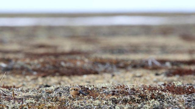 İsland qumsal quşu (Calidris canutus rogersi)